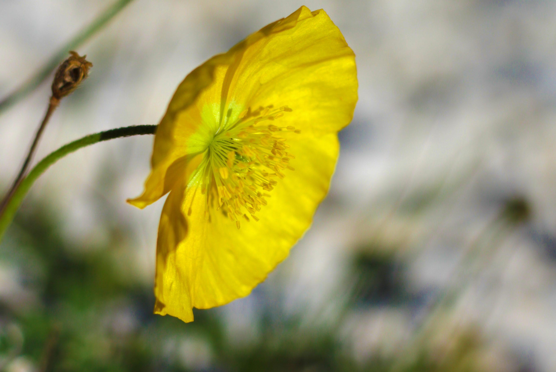 Flora: Alpenmohn