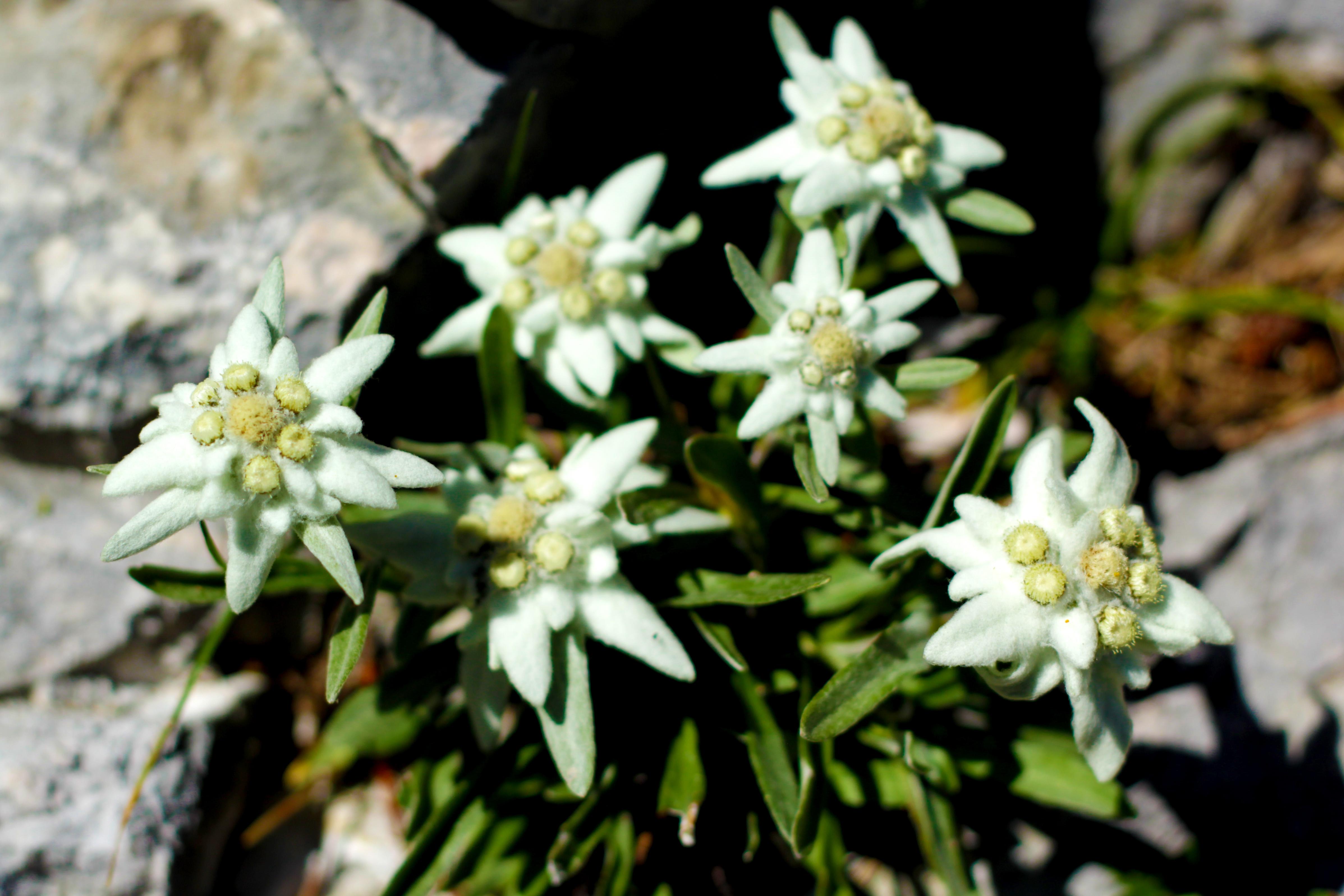 Flora: Das perfekte Edelweiß