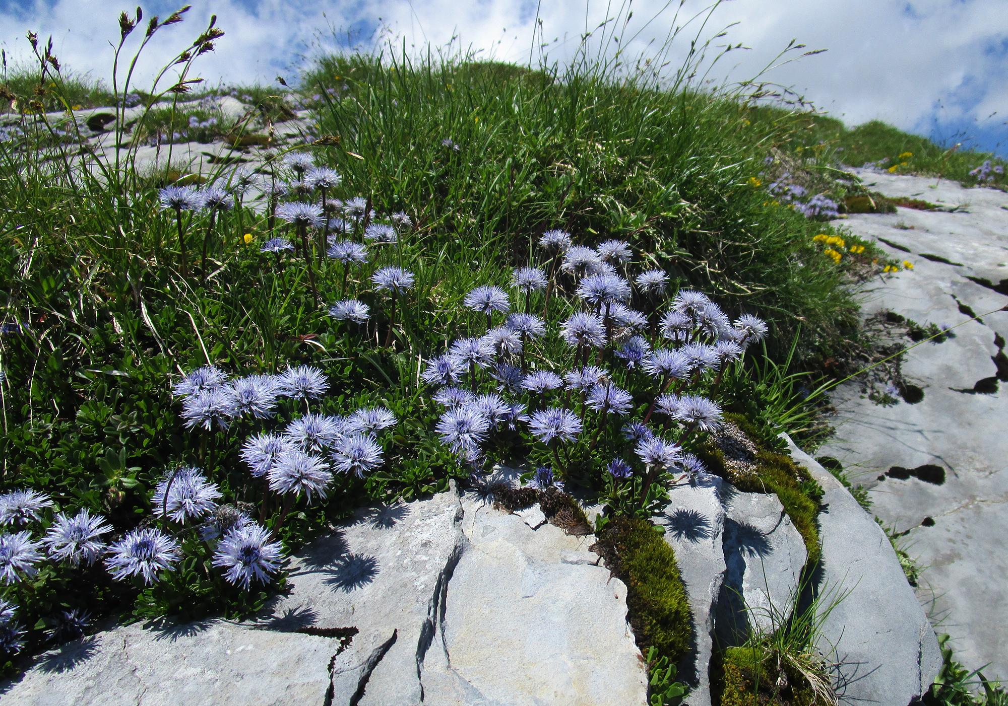 Flora: Herzblättrige Kugelblume