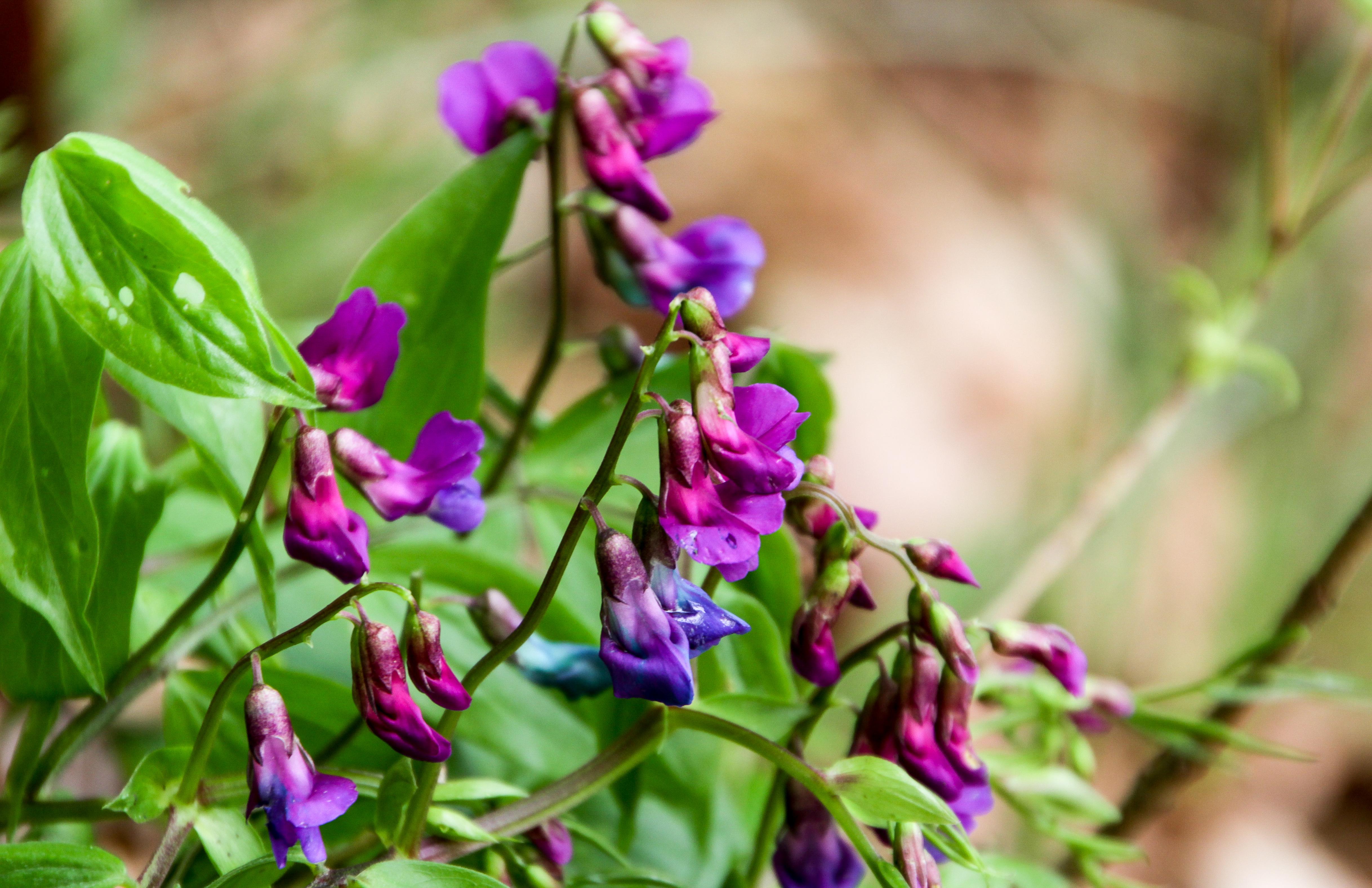Flora: Frühlings-Platterbse