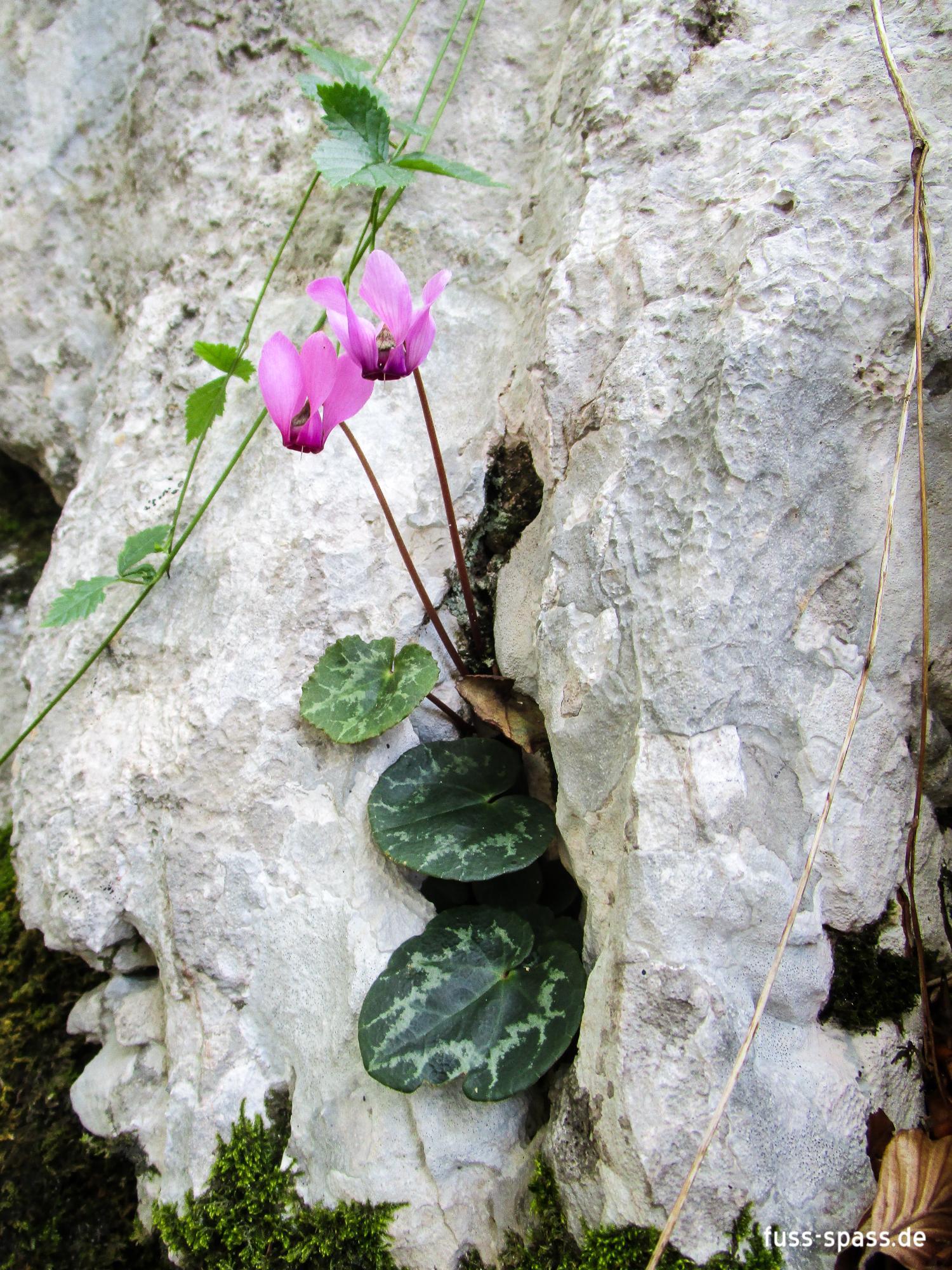 Flora: Alpenveilchen