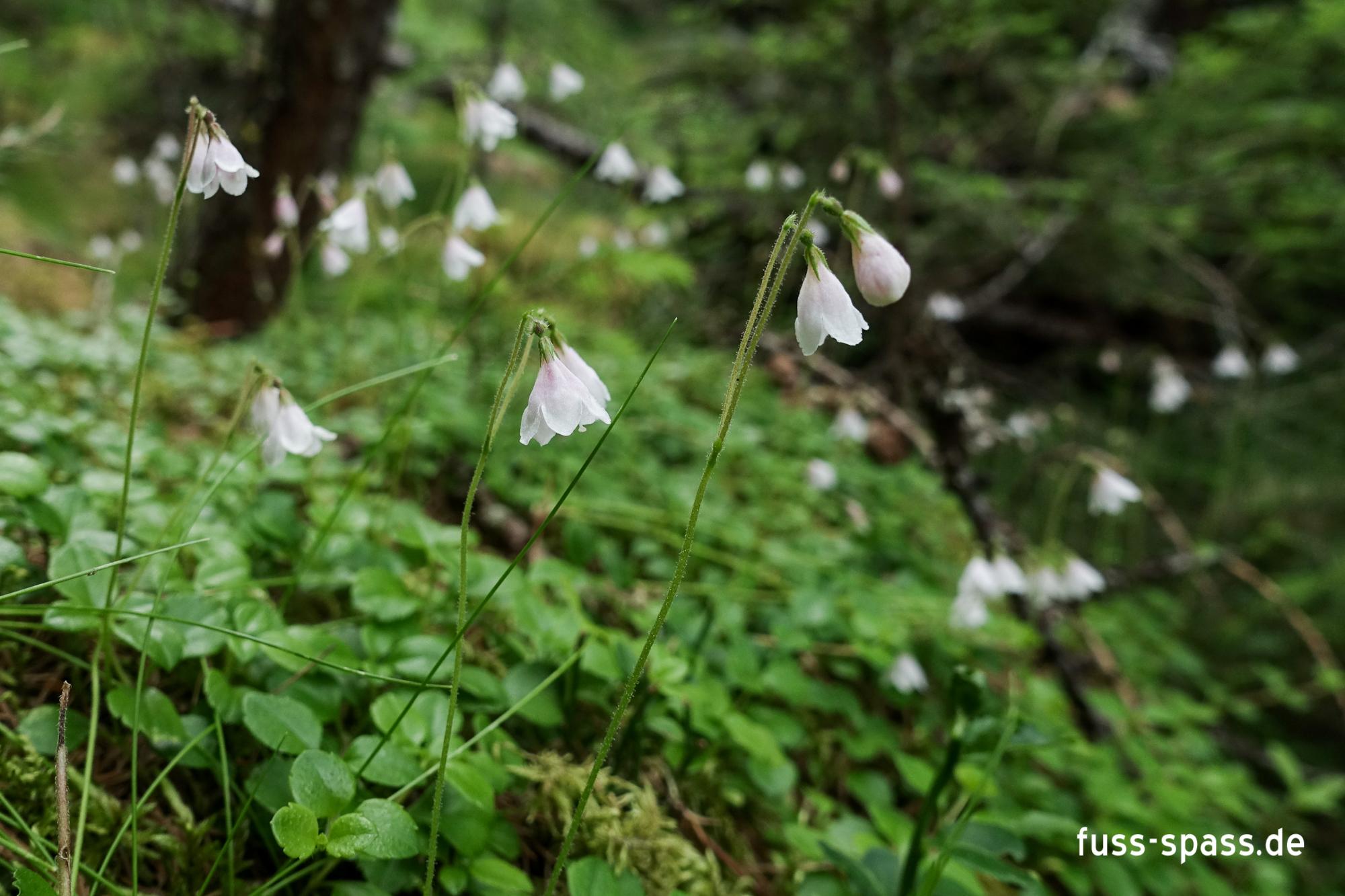 Flora: Moosglöckchen