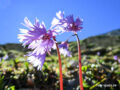 Flora: Alpenglöckchen